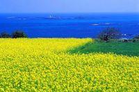 Lễ hội hoa cải tuyệt đẹp ở Hàn Quốc