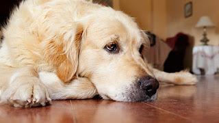 Tại sao mũi của loài chó thường xuyên ướt?