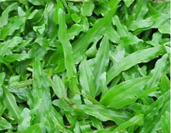 Trang trí sân vườn bằng cỏ lá tre (lá gừng) cần chú ý vấn đề gì?