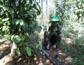 Đắk Nông: Hiệu quả của mô hình tưới nước tiết kiệm cho cây hồ tiêu