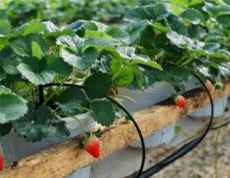 Hệ thống tưới nhỏ giọt cho cây dâu tây tăng năng suất trái cao