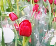 Hoa tulip - Uất kim hương
