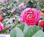 Hoa hồng Terrazza