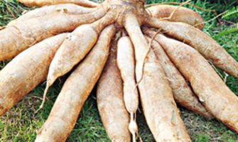 Processing of cassava feed