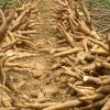 Cassava starch processing