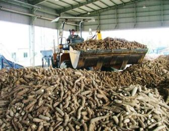 Cassava exports to Japan up 26%