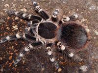Cách chăm sóc bò sát cảnh - Nhện Tarantula chi tiết nhất