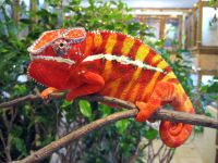 Những chú ý khi chăm sóc bò sát cảnh: tắc kè hoa Vailed Chameleon