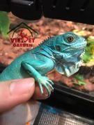 Những ảnh hưởng nghiêm trong tới sức khỏe của bò sát rồng Nam Mỹ Iguana (Phần 2)