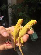 Những ảnh hưởng nghiêm trong tới sức khỏe của bò sát rồng Nam Mỹ Iguana (Phần 3)