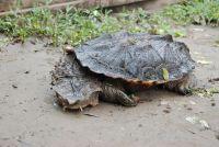 Chăm sóc rùa cảnh: Chữa bệnh kiết lị, tiêu chảy, giun sán ở rùa cảnh