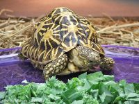 Chăm sóc rùa cảnh: Tại sao rùa lại bỏ ăn?
