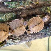 Cách chăm sóc rùa cảnh mata mata có gì đặc biệt?