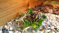 Cách chăm sóc rùa cảnh rùa sao Ấn Độ chi tiết nhất.