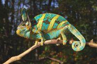 Lý do nào khiến nhiều người yêu thích tắc kè hoa đổi màu veiled chameleon