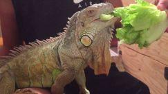 Bạn có biết chế độ ăn kiêng của loài rồng nam mỹ