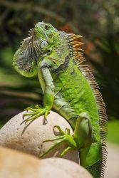 Tìm hiểu đôi nét về rồng nam mỹ - Green IGuana