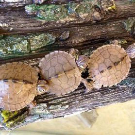 Map turtle -  Rùa bản đồ