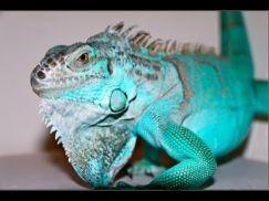 Blue Iguana - Rồng Nam Mỹ