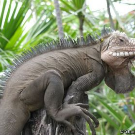 Lesser Iguana - Cự Đà Hoàng Đế