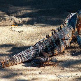Spiny Tail Iguana - Cự Đà Đuôi Gai