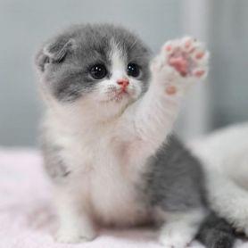 Mèo Scostish