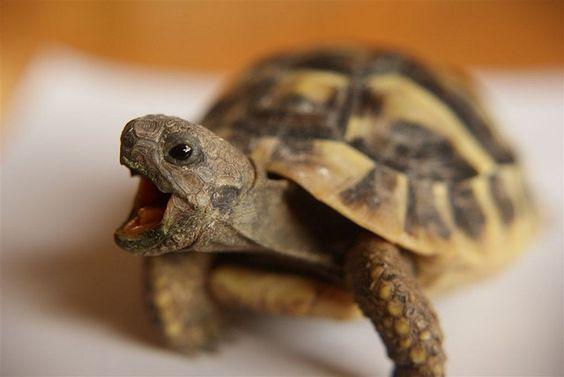 Herman Tortoise - Rùa Nga