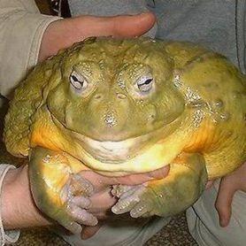 African Bull Frog - Ếch Bò Châu Phi