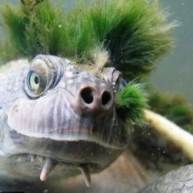 Hilary's Sideneck Turtle - Rùa Cổ Gập Hilary
