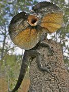 Frilled Lizard - Thằn Lằn Cổ Bướm