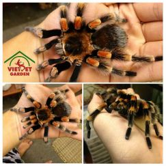Tarantula - nhện cảnh